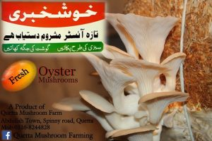 Buy Online Oyster Mushrooms in Quetta from Amanuallah Khan Firm Balochistan